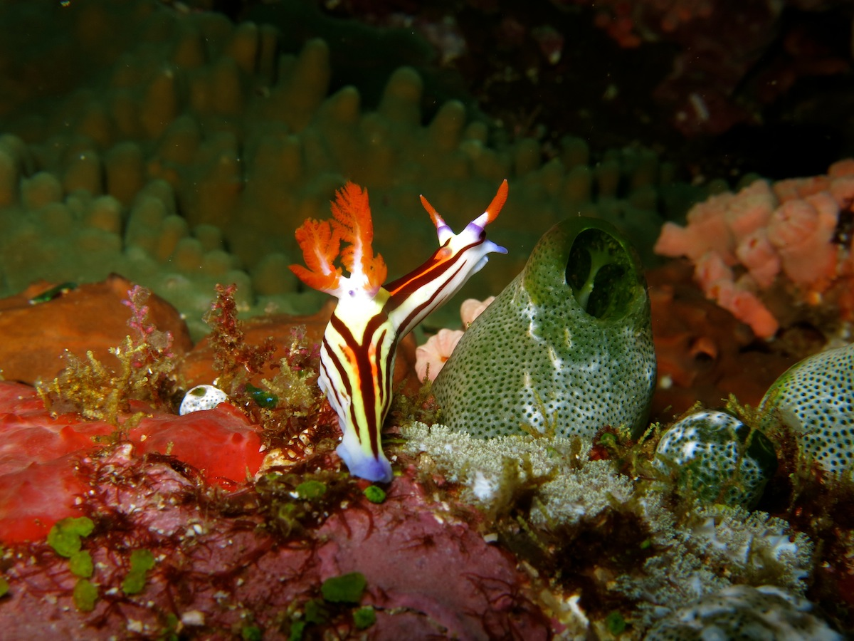 Nudibranch Komodo NP