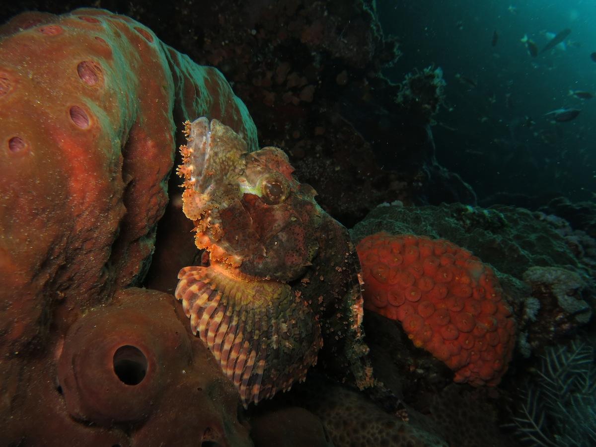 Scorpionfish Komodo NP Batu Bolong