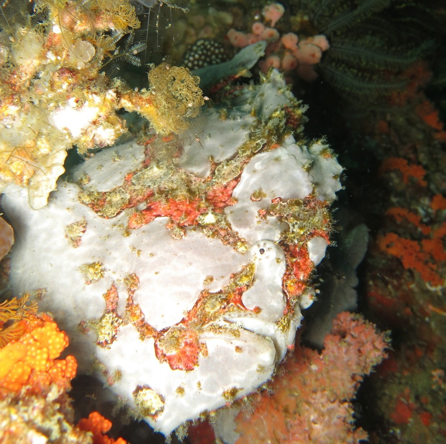 Frogfish Indonesia