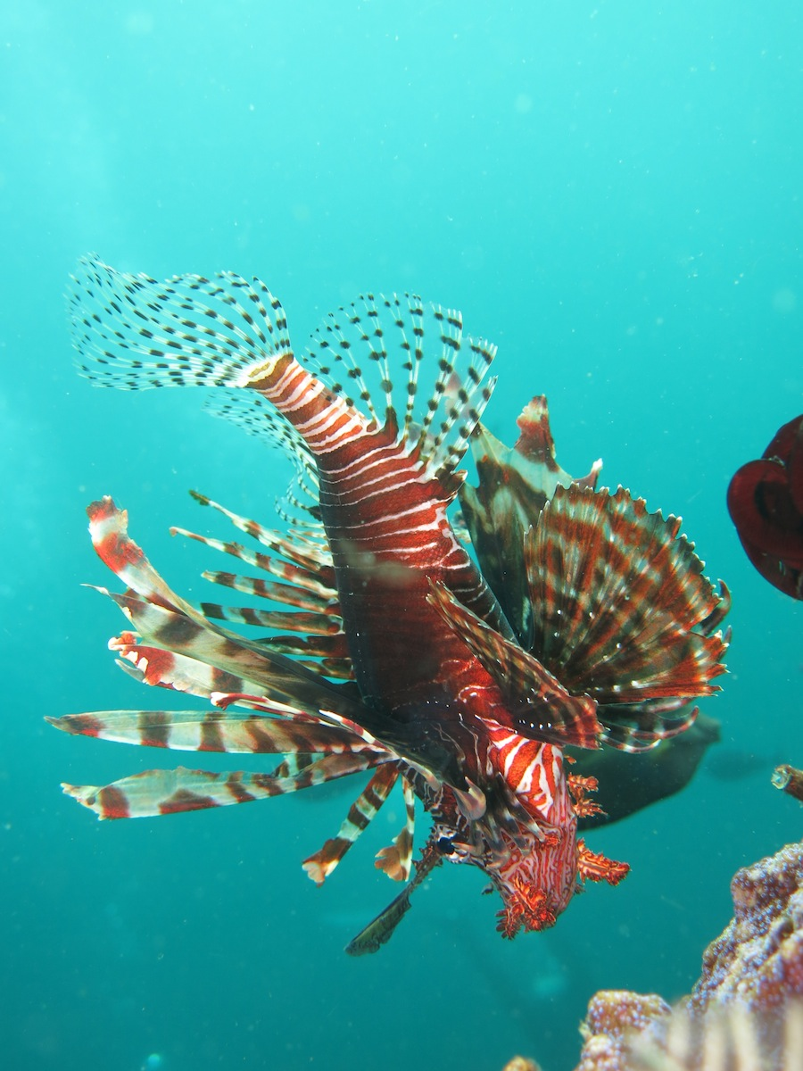 Lionfish South Komodo