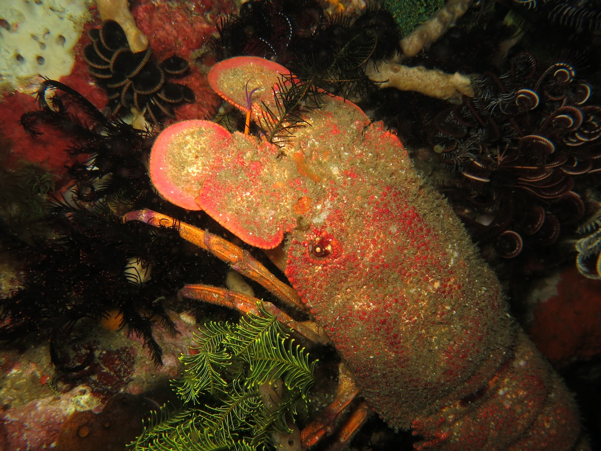 Slipper Lobster Komodo NP