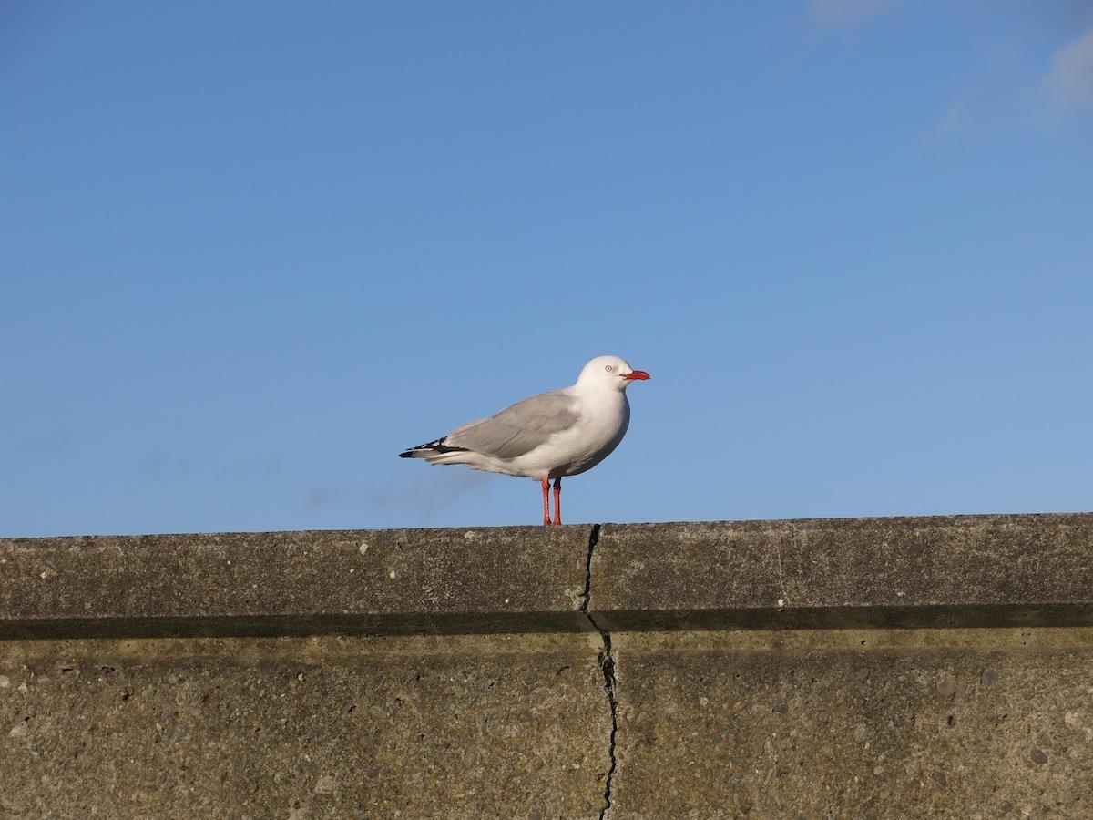 Seagull Sumner