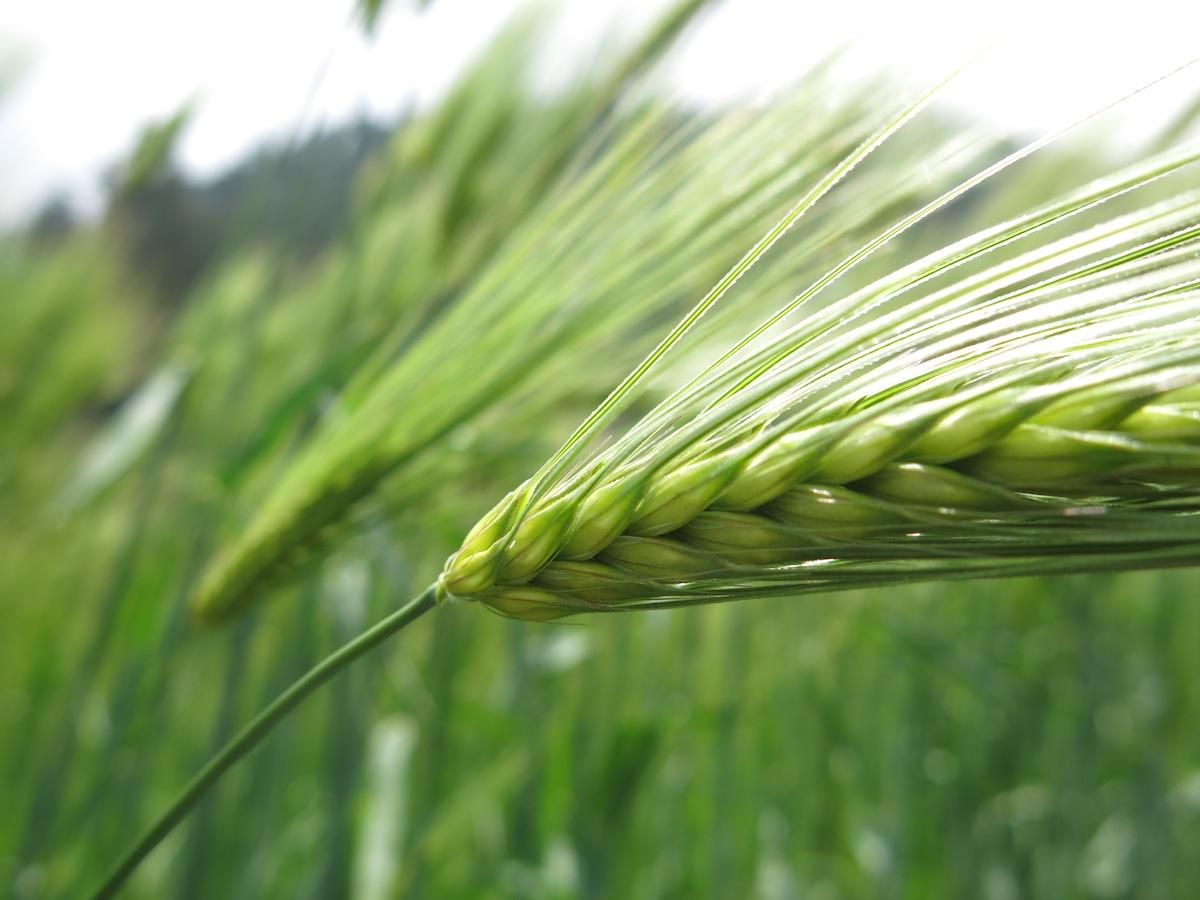 Crop fields Annapurna