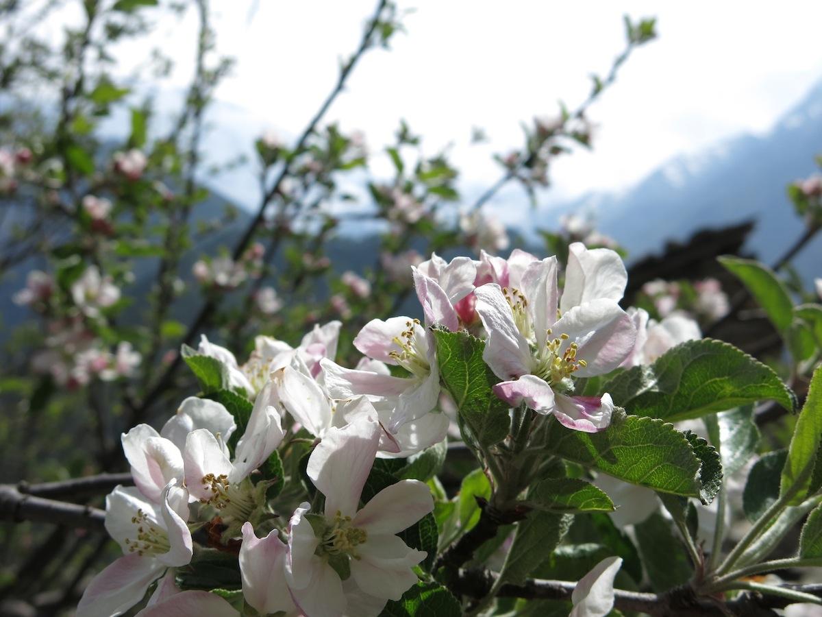 Springflowers Nepal