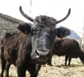 Ko i Nepal