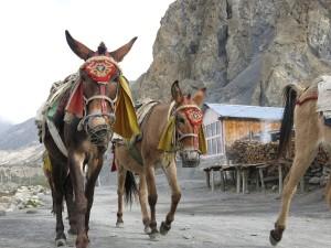 Åsnor i Nepal
