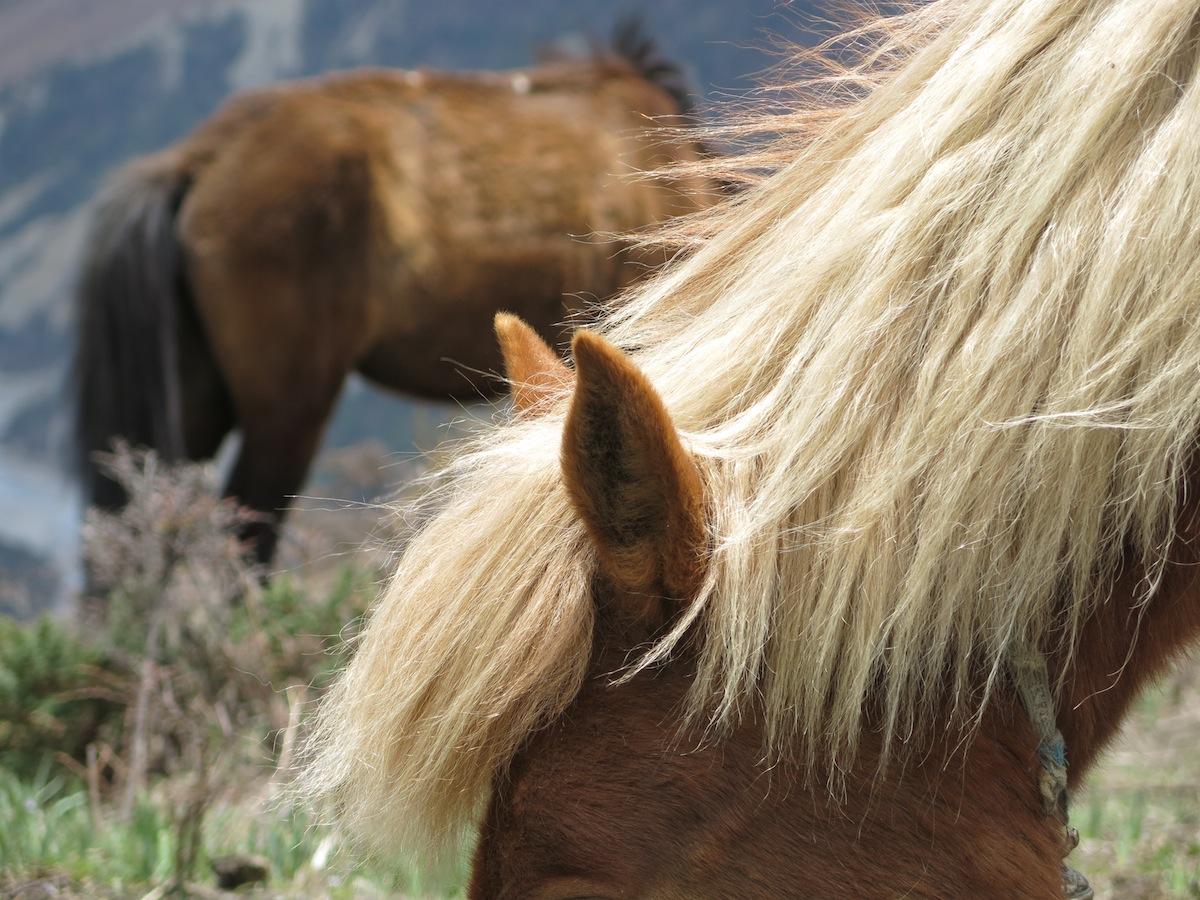 Horses Annapurna Nepal