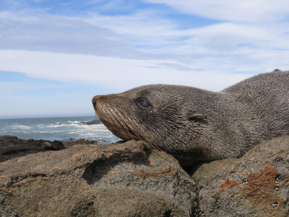 Seal, New Zealand