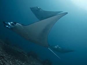 Manta Rays of Komodo