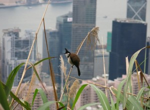 Bird on Victoria Peak