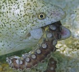 Moray Eel eating Octupus