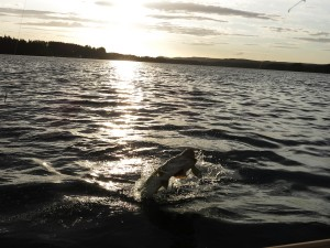 Pike in Sweden