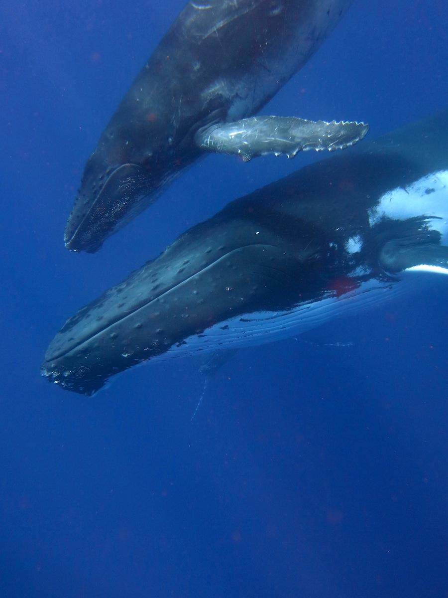 Humpback Tonga