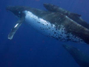 Humpbacks Tonga