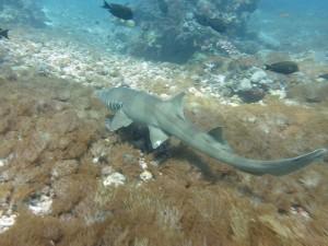 Bamboo Shark Karang Makassar Komodo NP