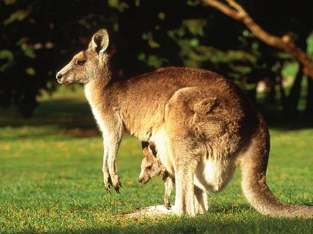 kangaroo_001.jpg