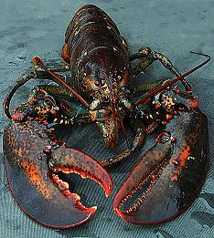 lobsterdm0811_468x521.jpg