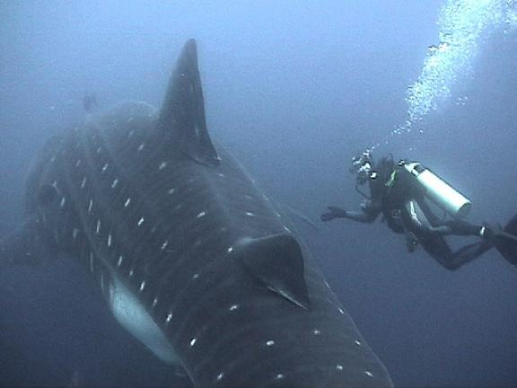 whale-shark-and-diver.jpg
